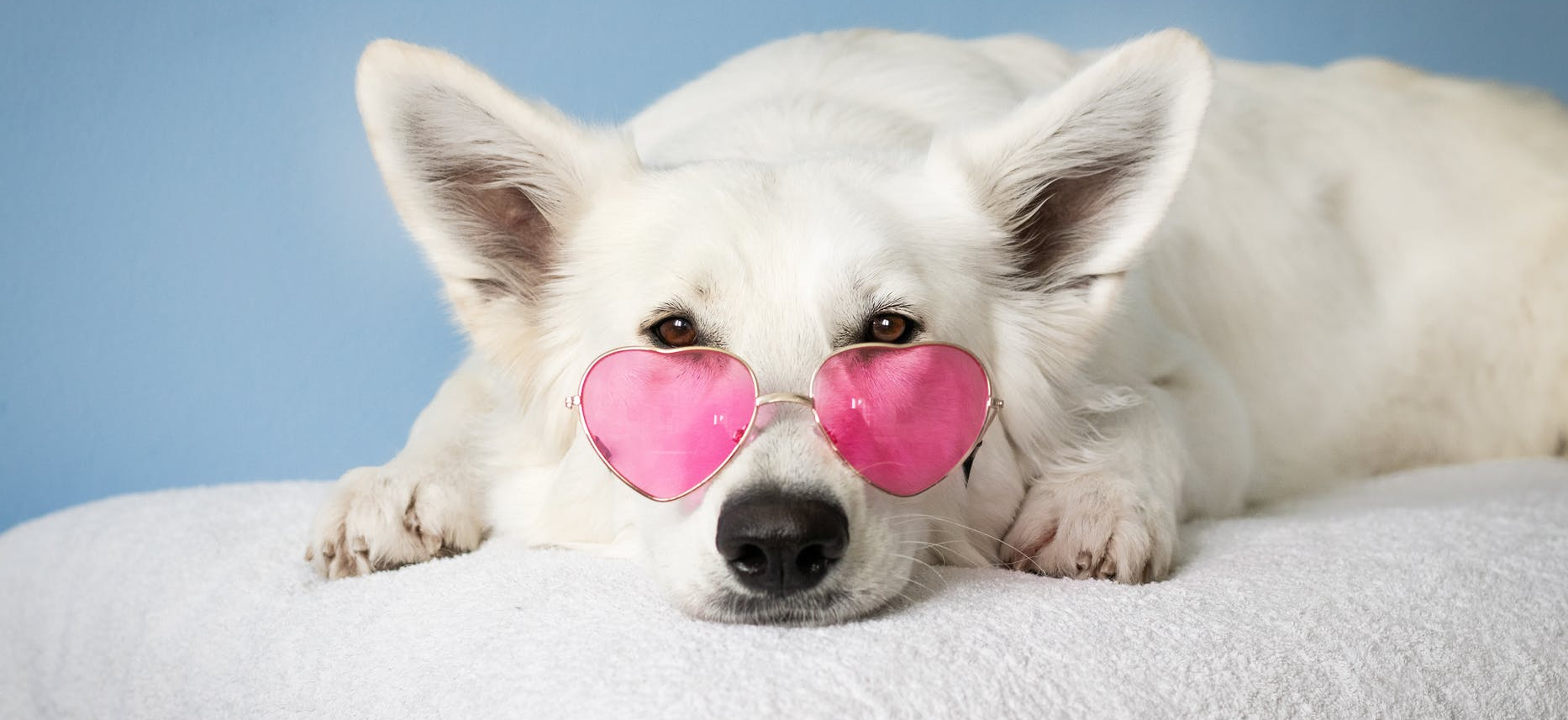 white dog in pink heart shaped sunglasses.