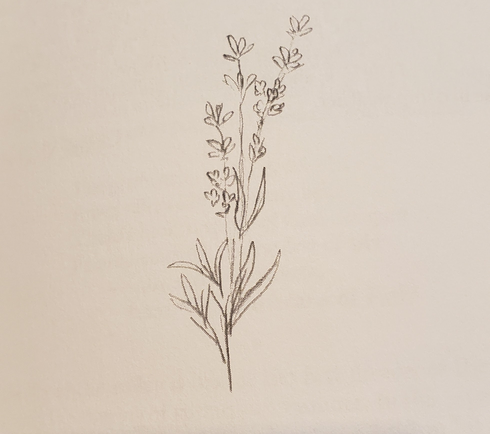 A simple drawing of a lavender plant