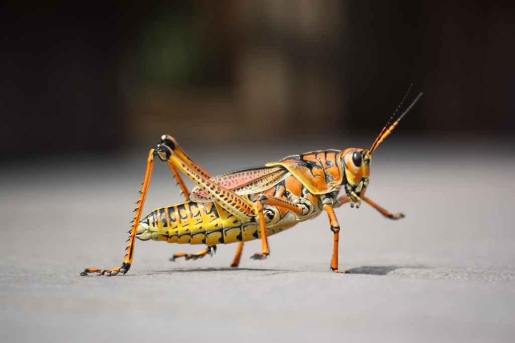 giant orange and yellow grasshopper