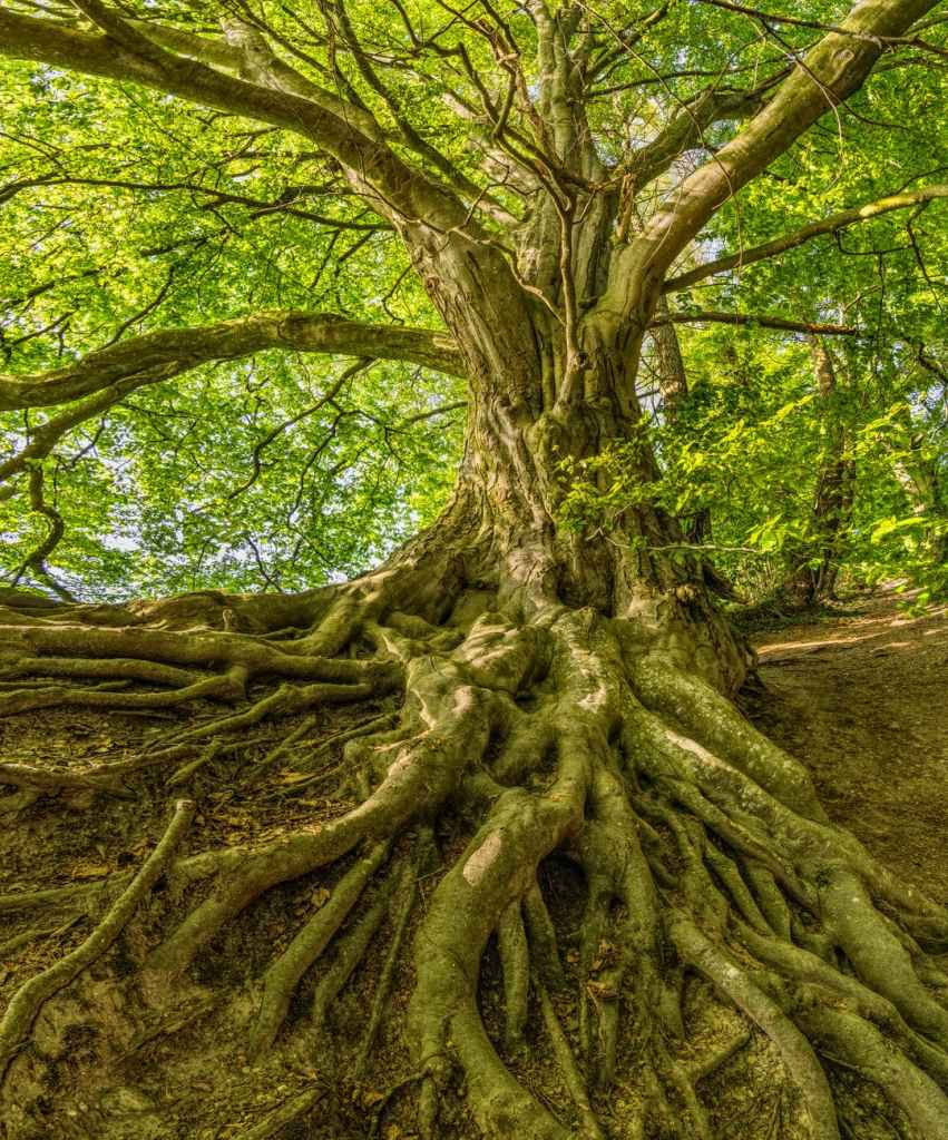 tree with extensive roots.