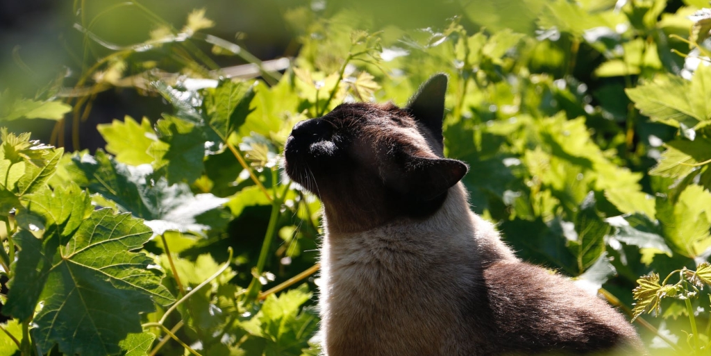 siamese cat sniffing leaves