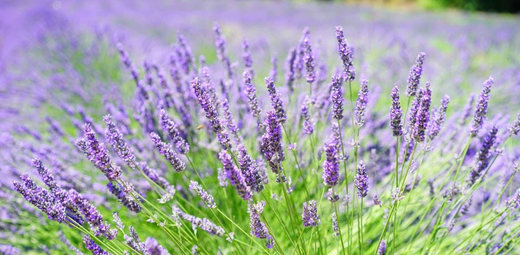 lavender growing in the sun