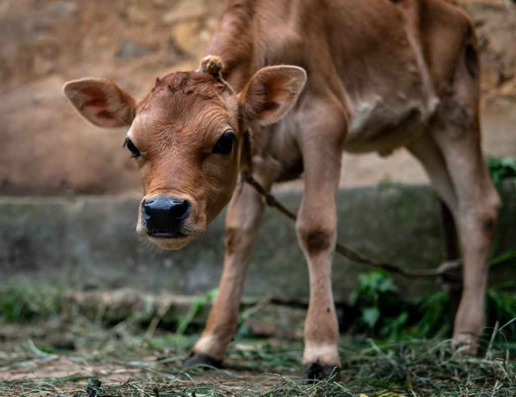 little brown calf