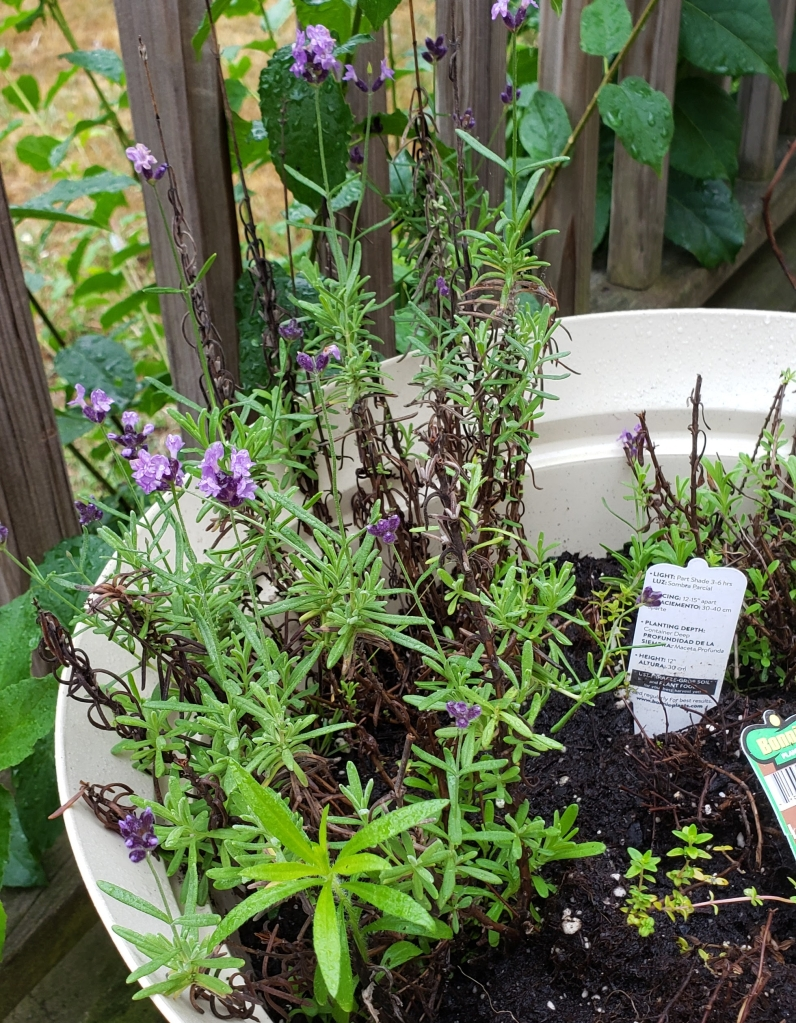 Lavender in a tub as part of my deck garden