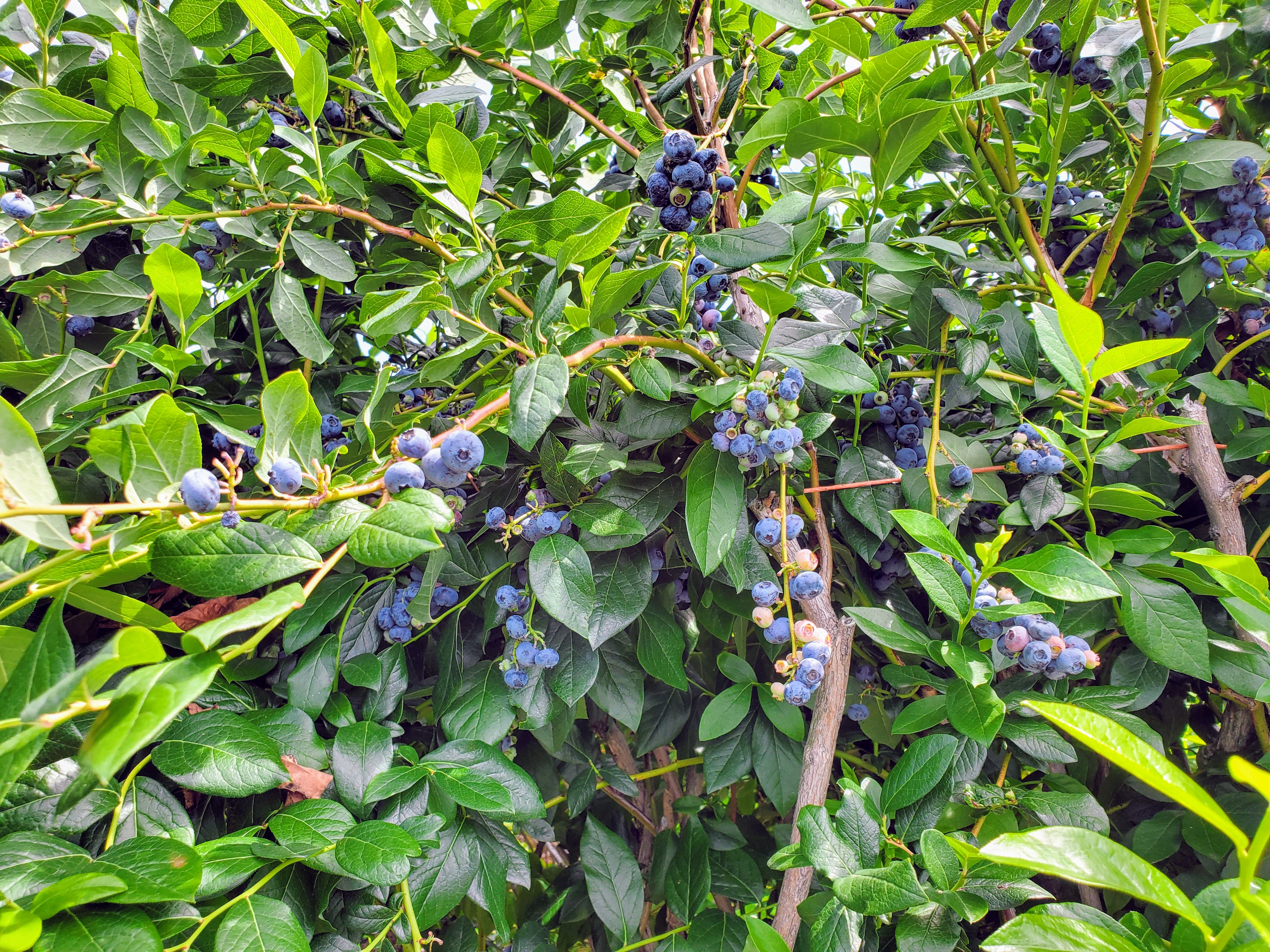 blueberry bushes with lots of rip berries.
