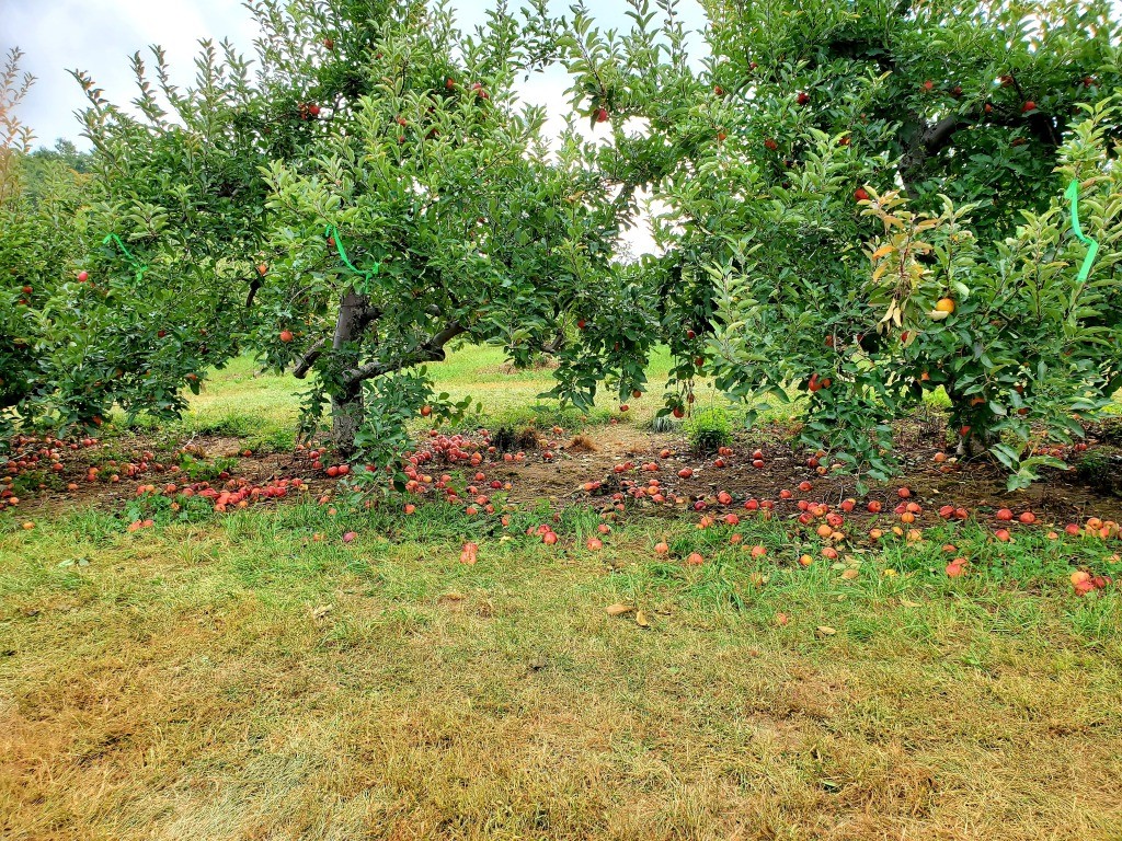 Apple trees and apples all over the ground