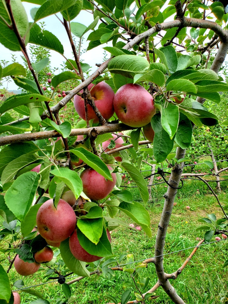 bunches of apples on the tree