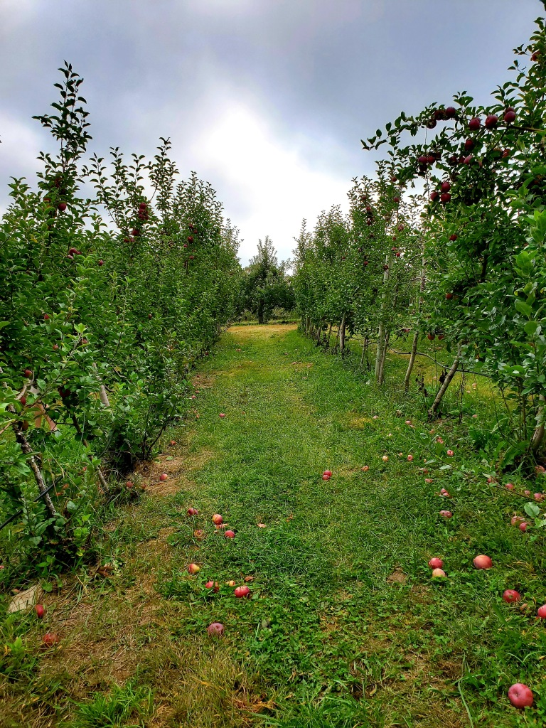 empty row between the apple trees