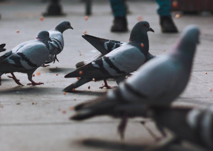 plump pigeons on a sidewalk