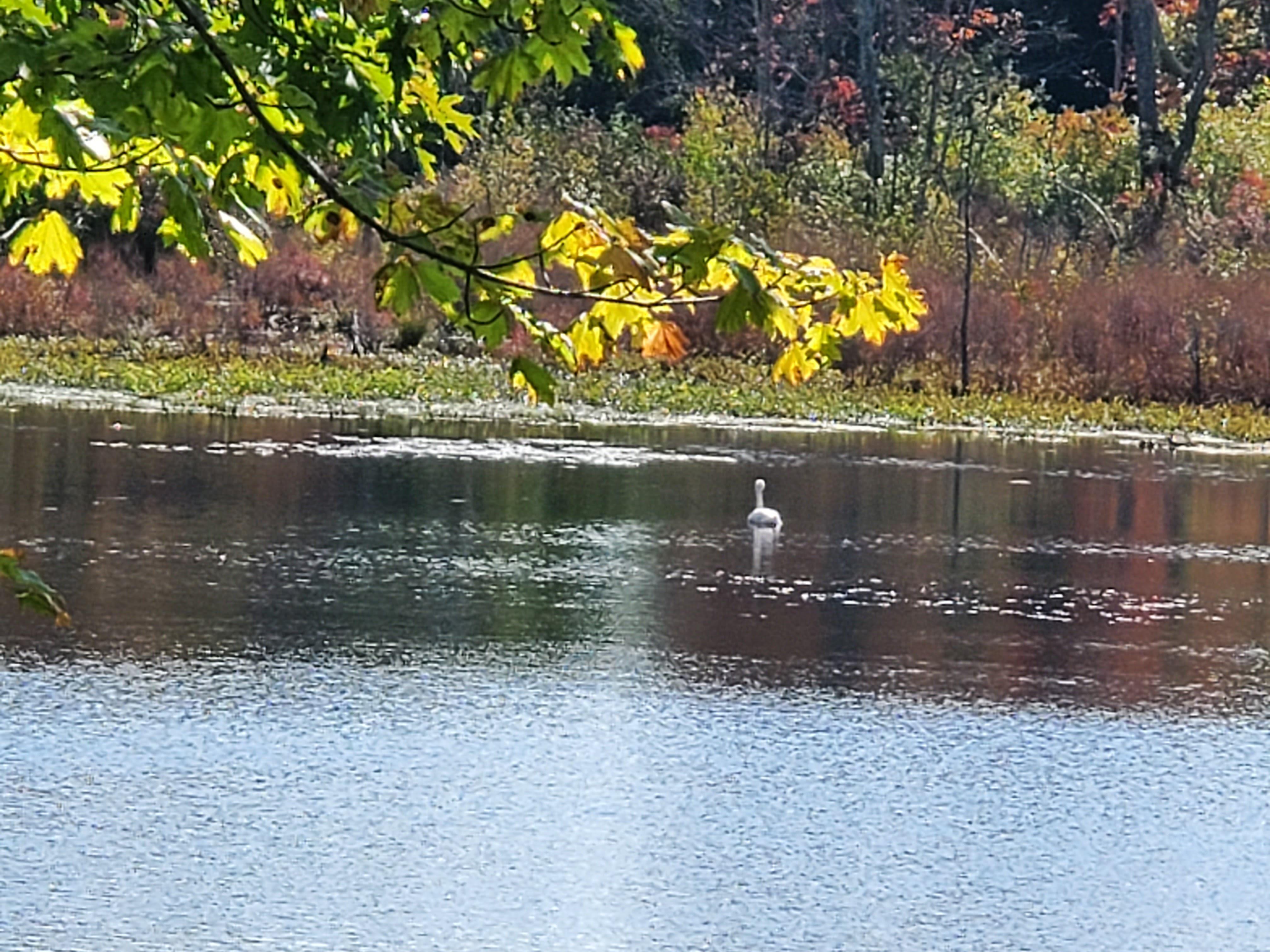 lone swan swimming