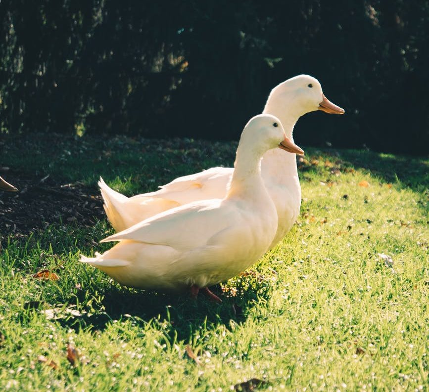 two pekin ducks