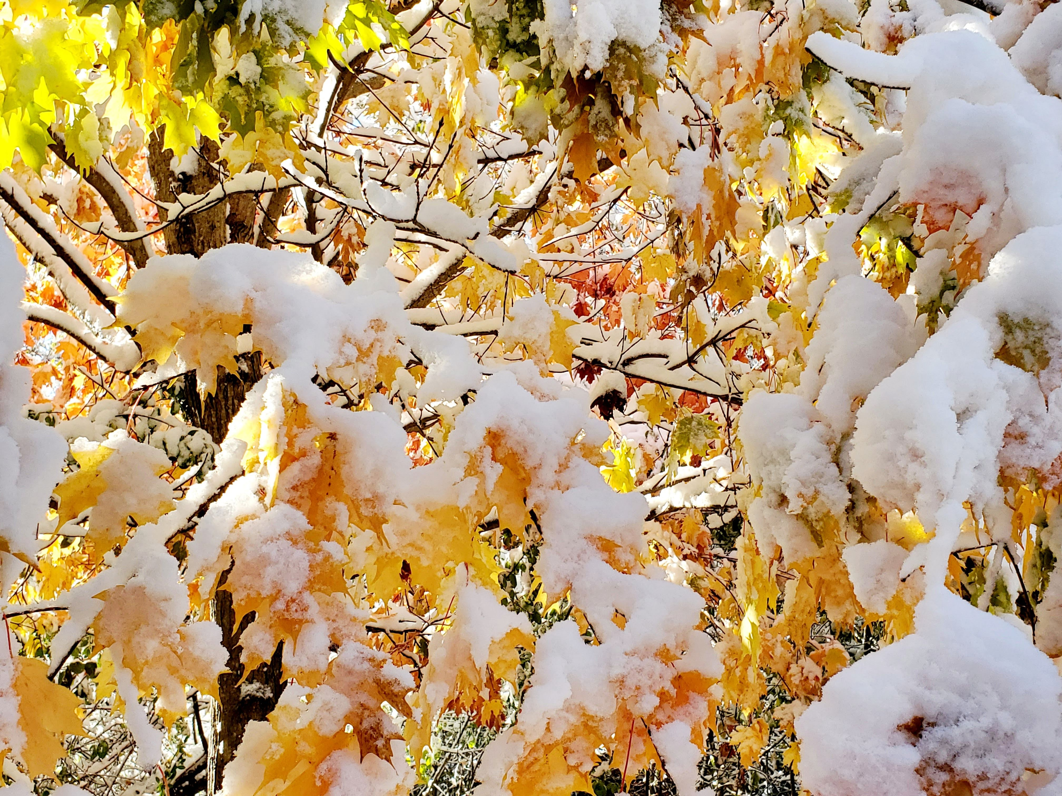 yellow leaves covered in snow