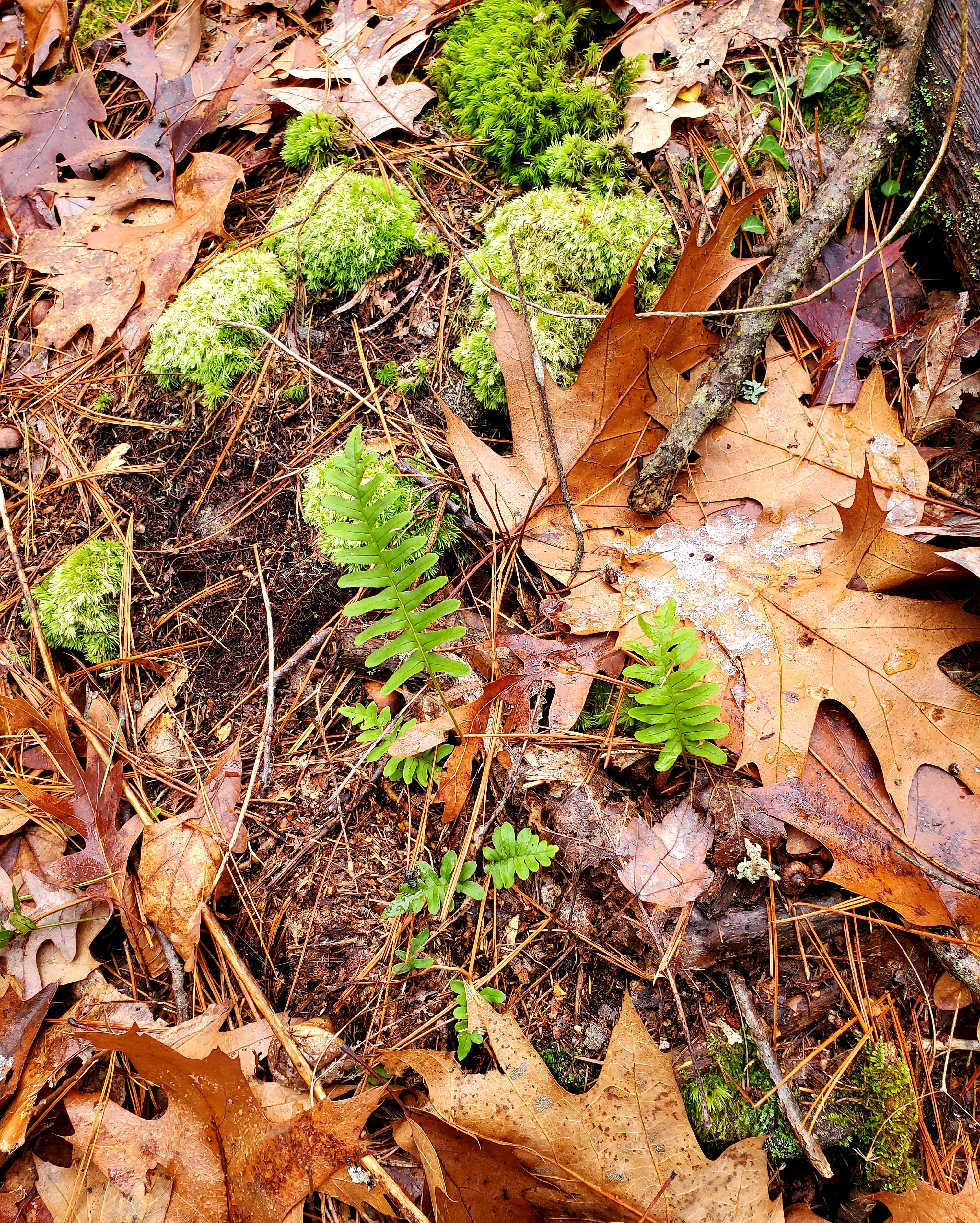 ferns poking up through the leaves