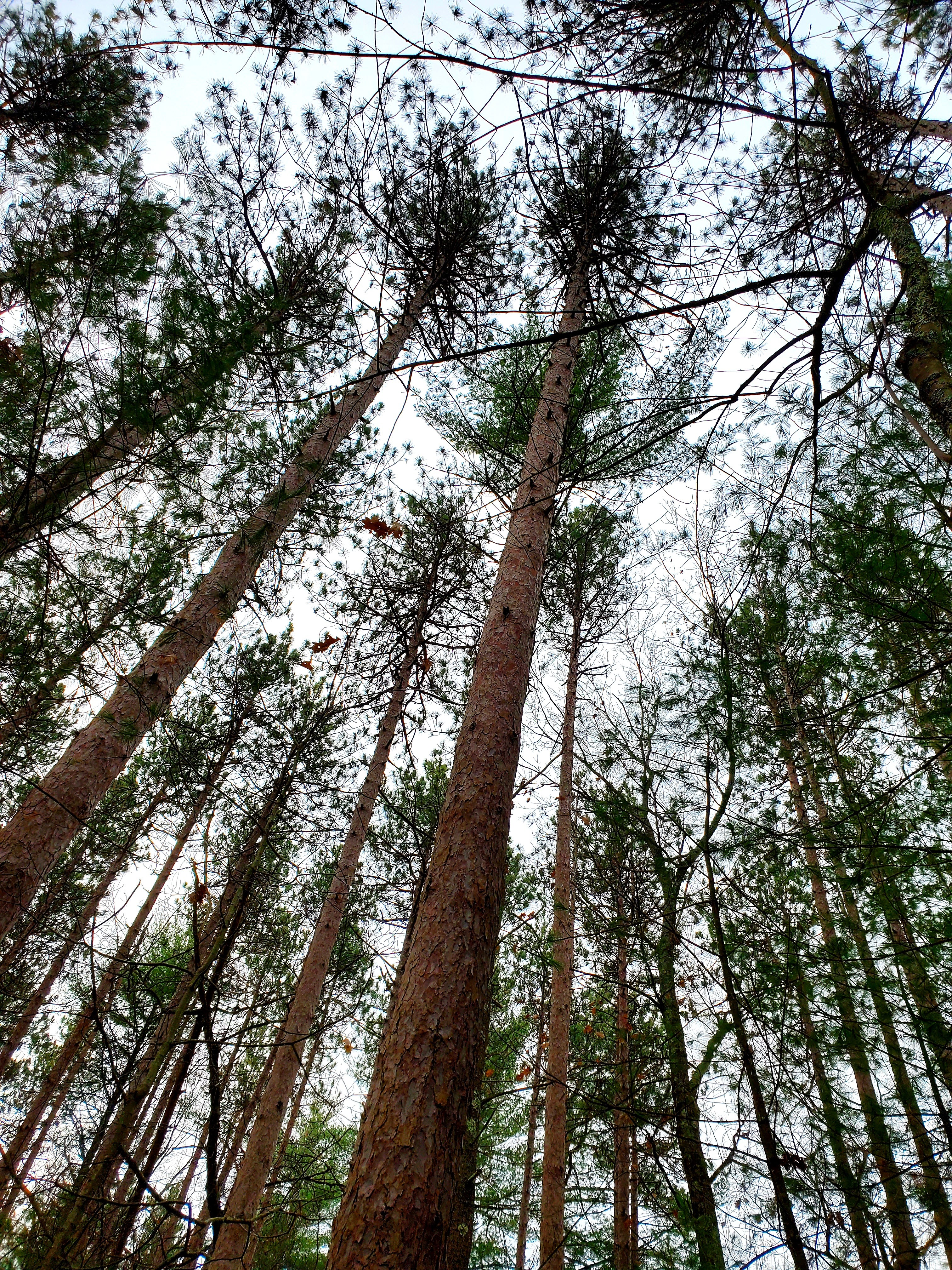 surrounded by tall pines