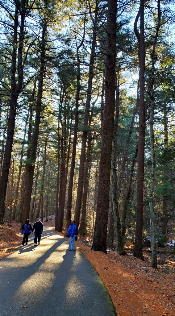 People walking on the path through very tall pine trees