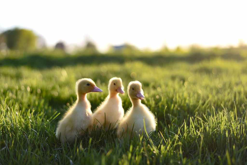 3 ducklings in the grass