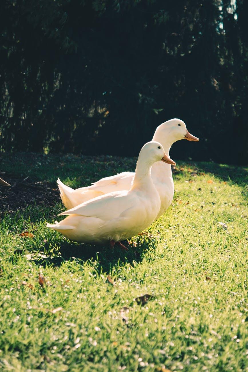 Two large white ducks