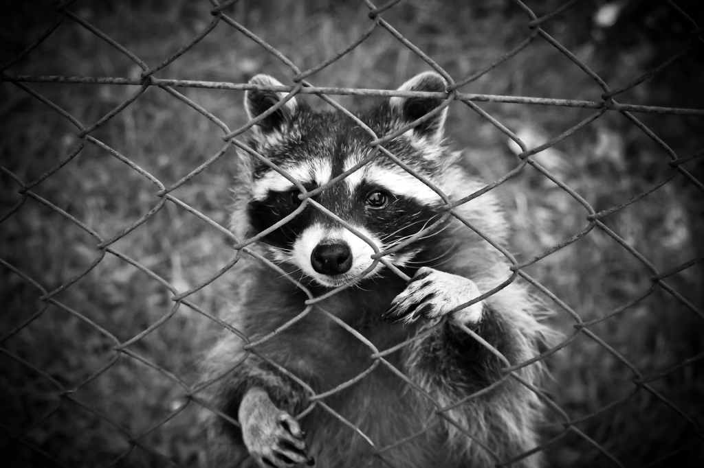 black and white photo of a raccoon looking through a fence.