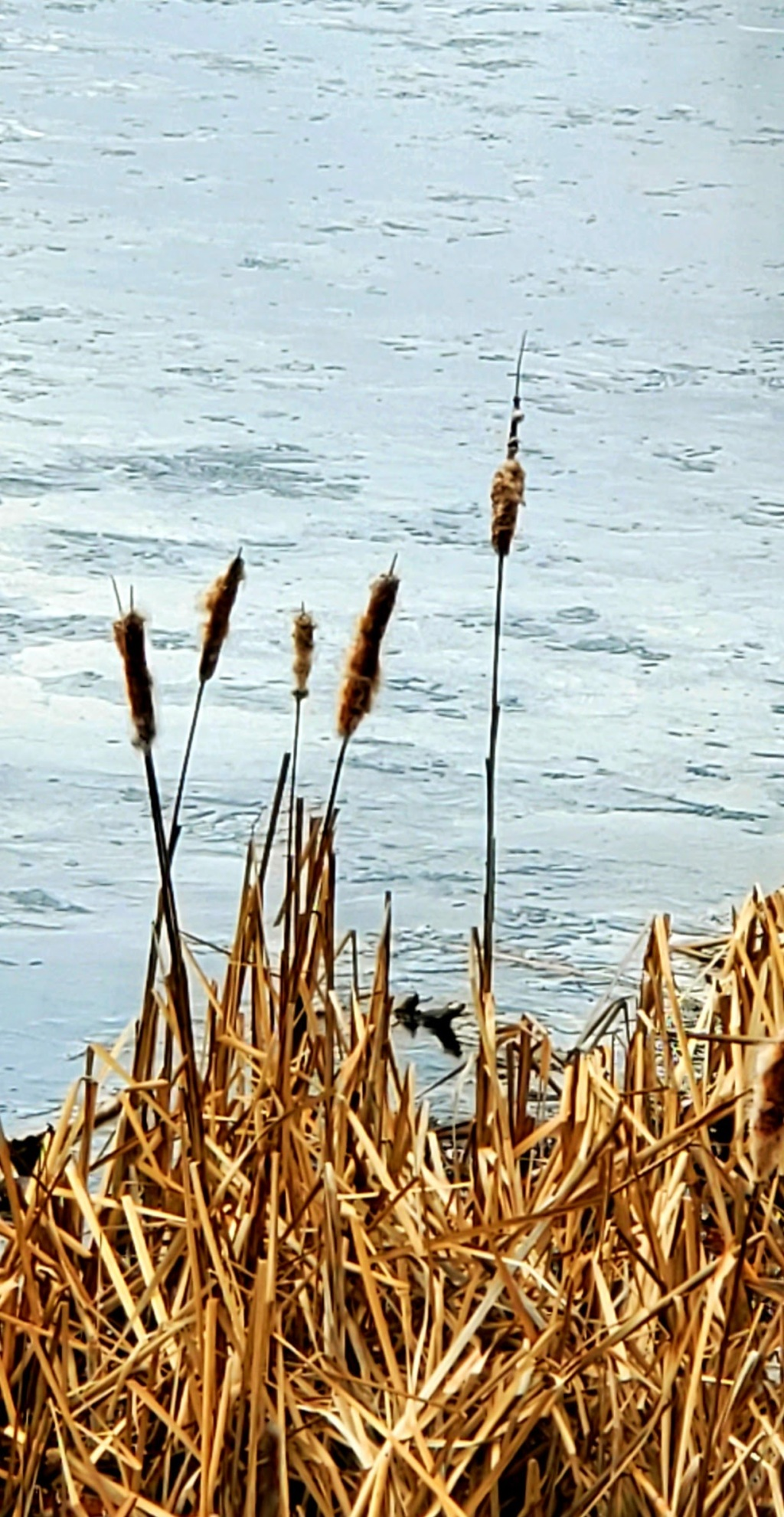 cattails by the shore of the quarry