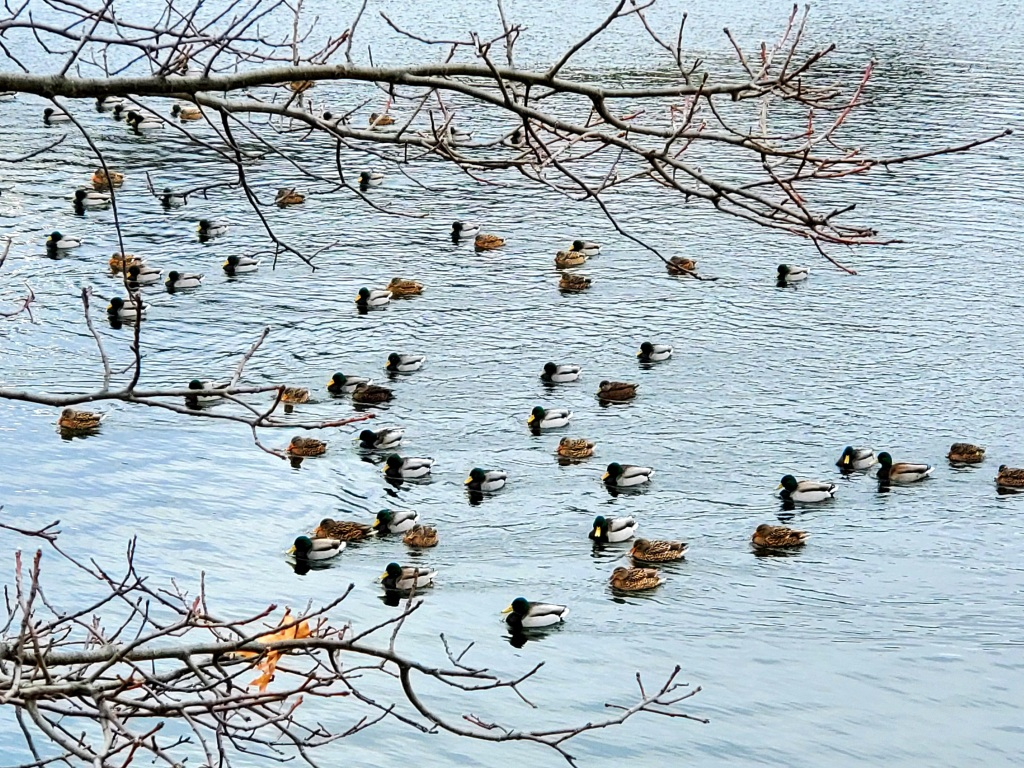Wild drakes and mallards swimming together by the dozens