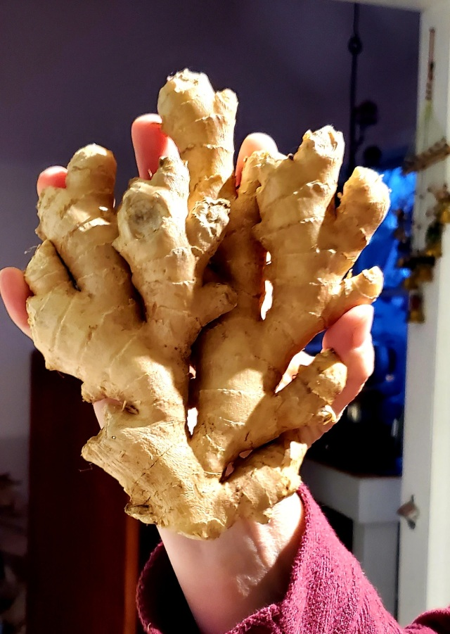 Fresh ginger root the size of Beth's hand